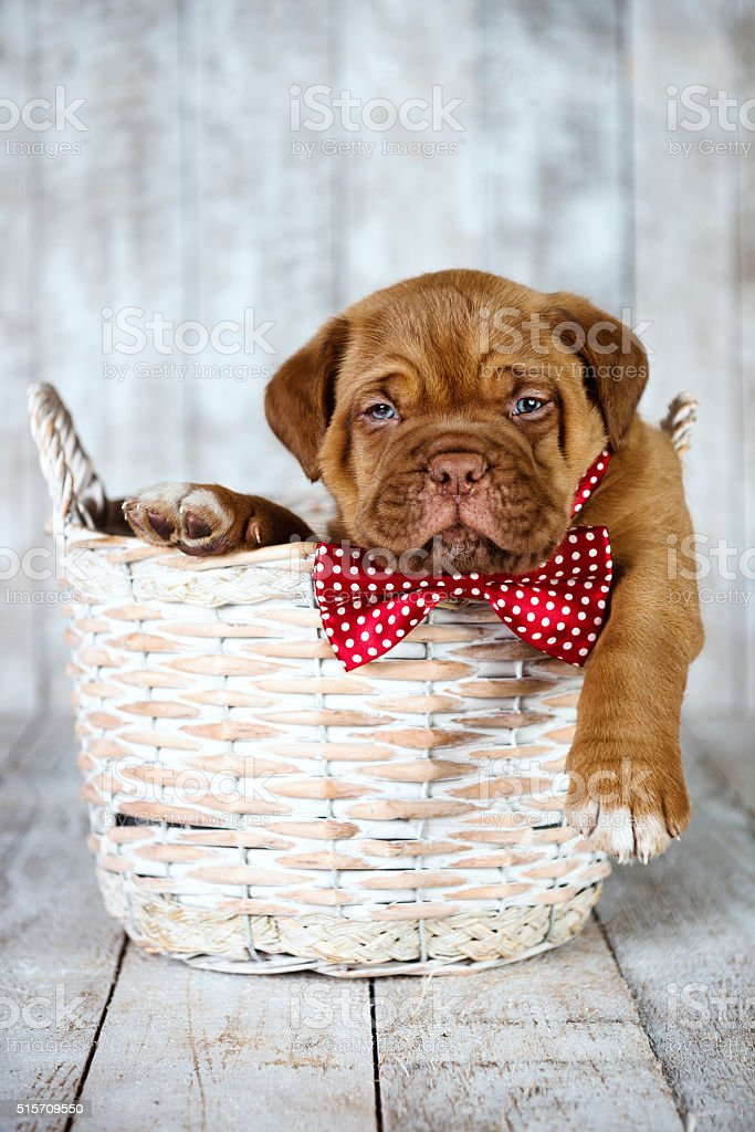 Few Weeks Old Puppy with Bow Tie in a Basket stock photo
