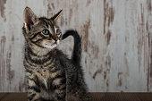 Few weeks old tabby kitten tomcat on white wooden background