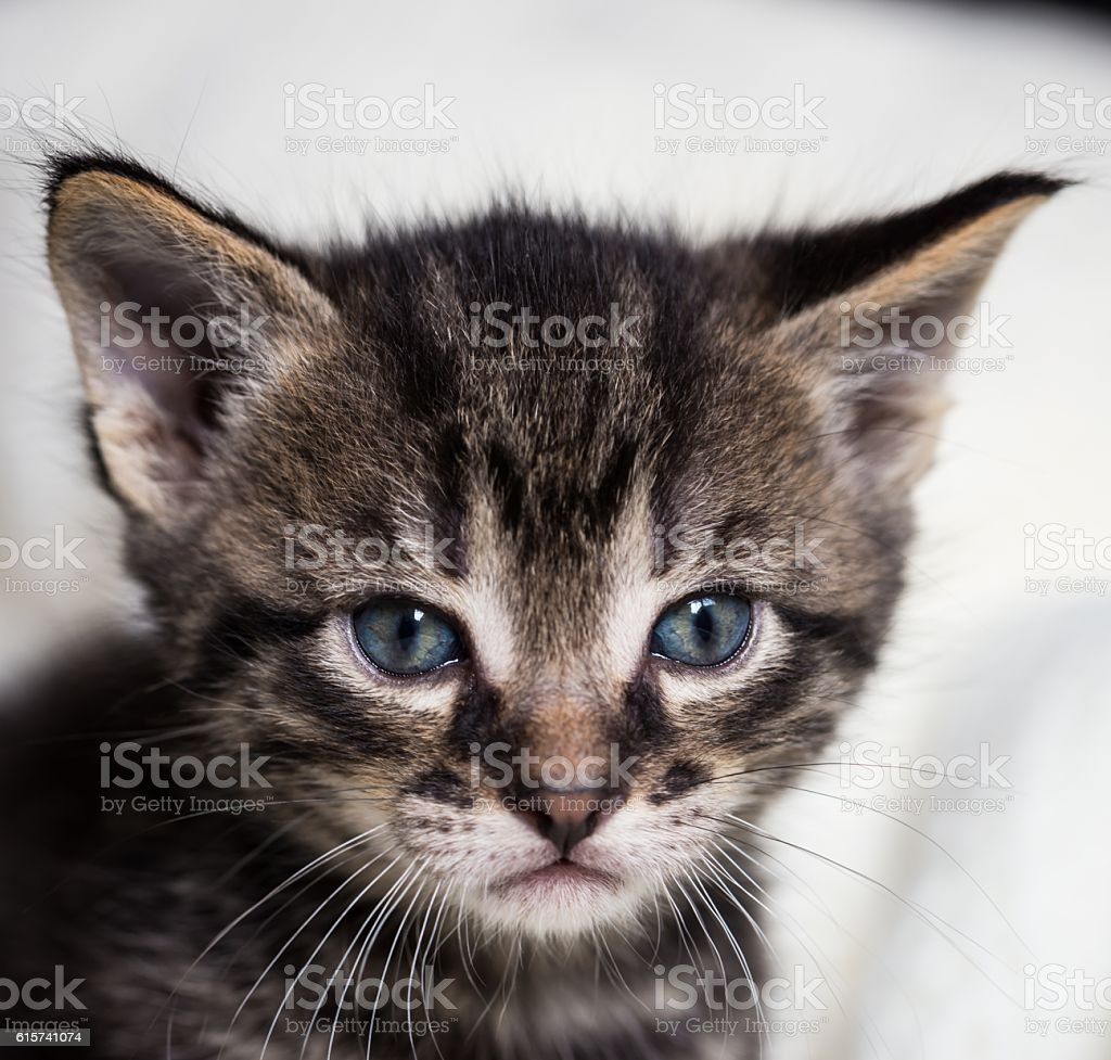 Few weeks old tabby tomcat with blue eyes stock photo