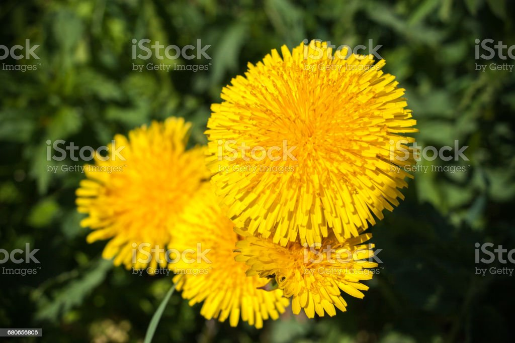 Few yellow dandelions on green background. Top point shooting. stock photo
