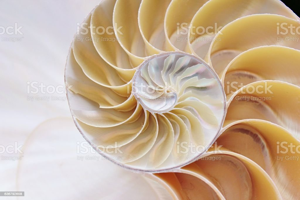Fibonacci nautilus shell symmetry cross section spiral structure growth stock photo