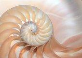 fibonacci pattern in cross section nautilus sea shell