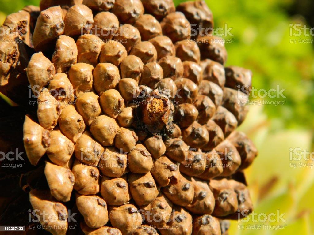 Fibonacci pattern on a pine cone stock photo