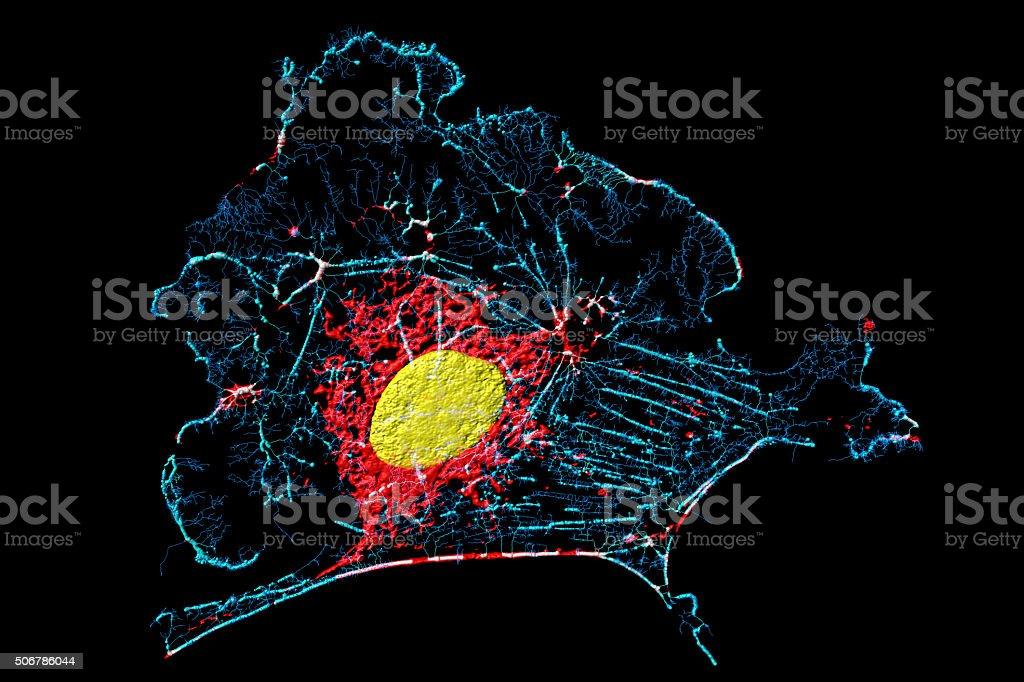 Fibroblast cell stock photo