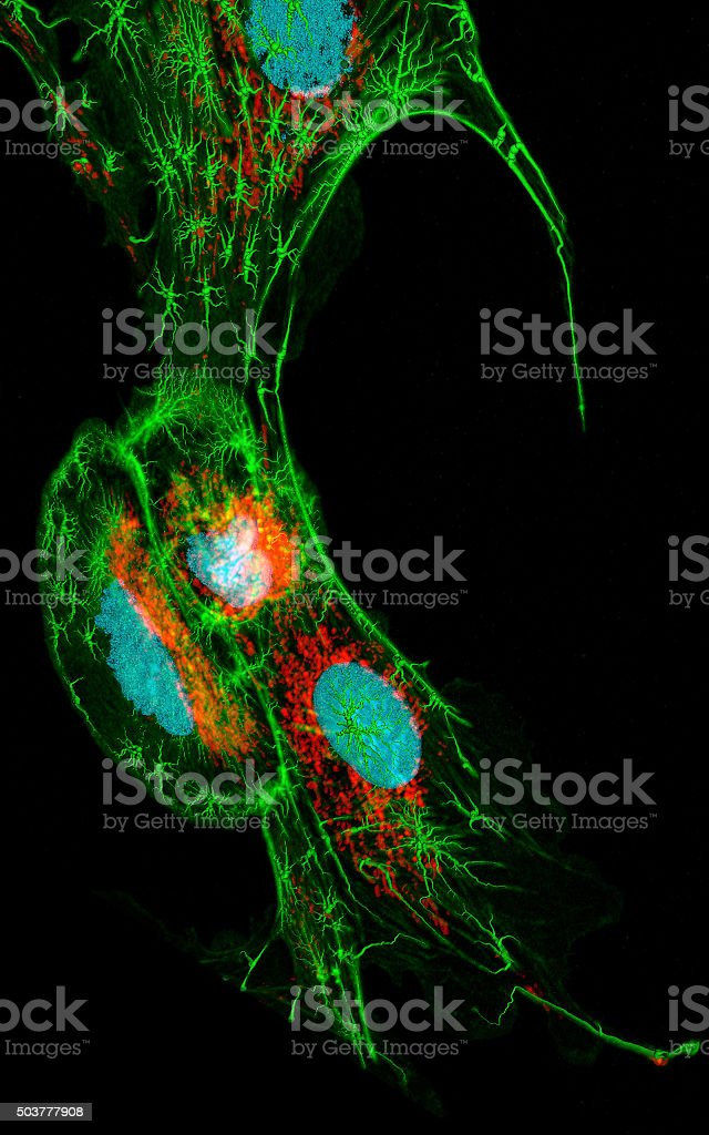Fibroblasts stock photo