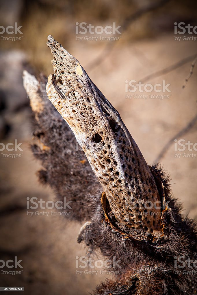 Fibrous Internal Mesh Structure (Cactus Wood) Of Dead Cholla Cactus royalty-free stock photo