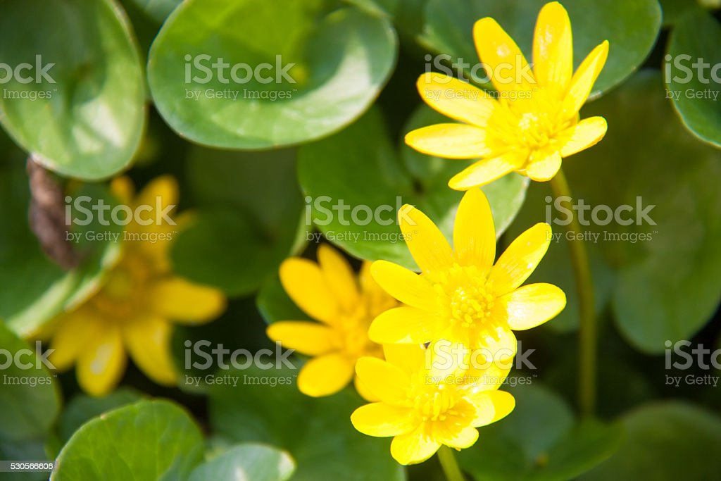 ficaria verna yellow spring flowers as a background stock photo