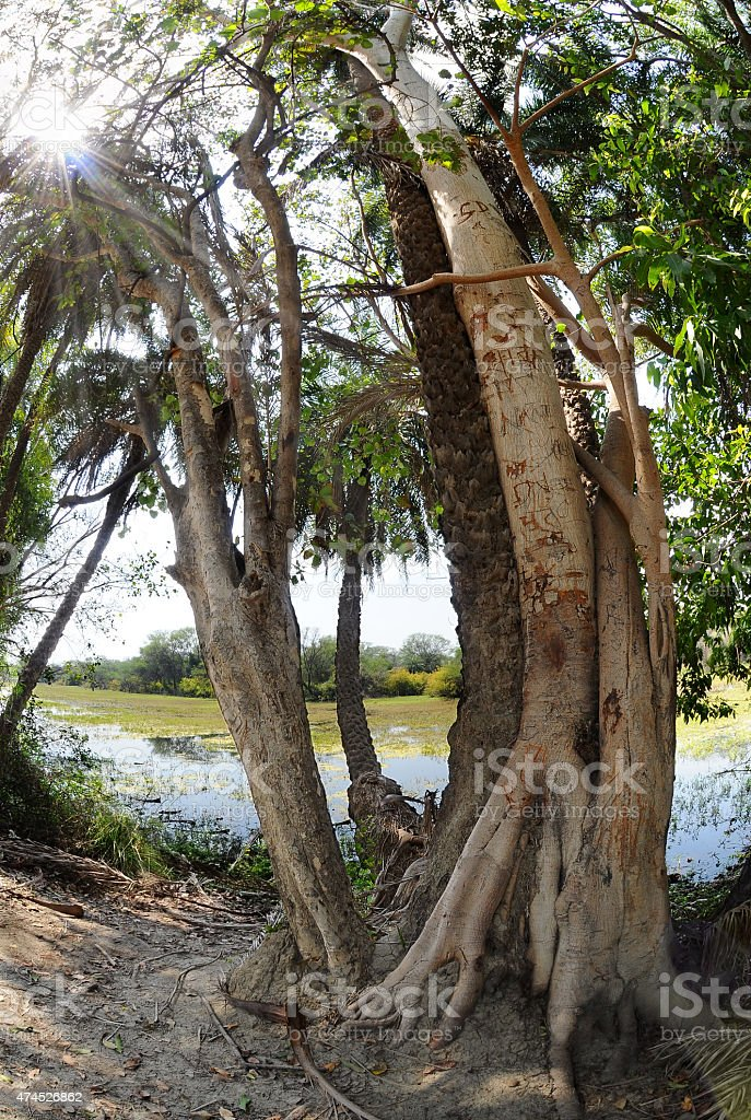 Ficus and palm trees stock photo