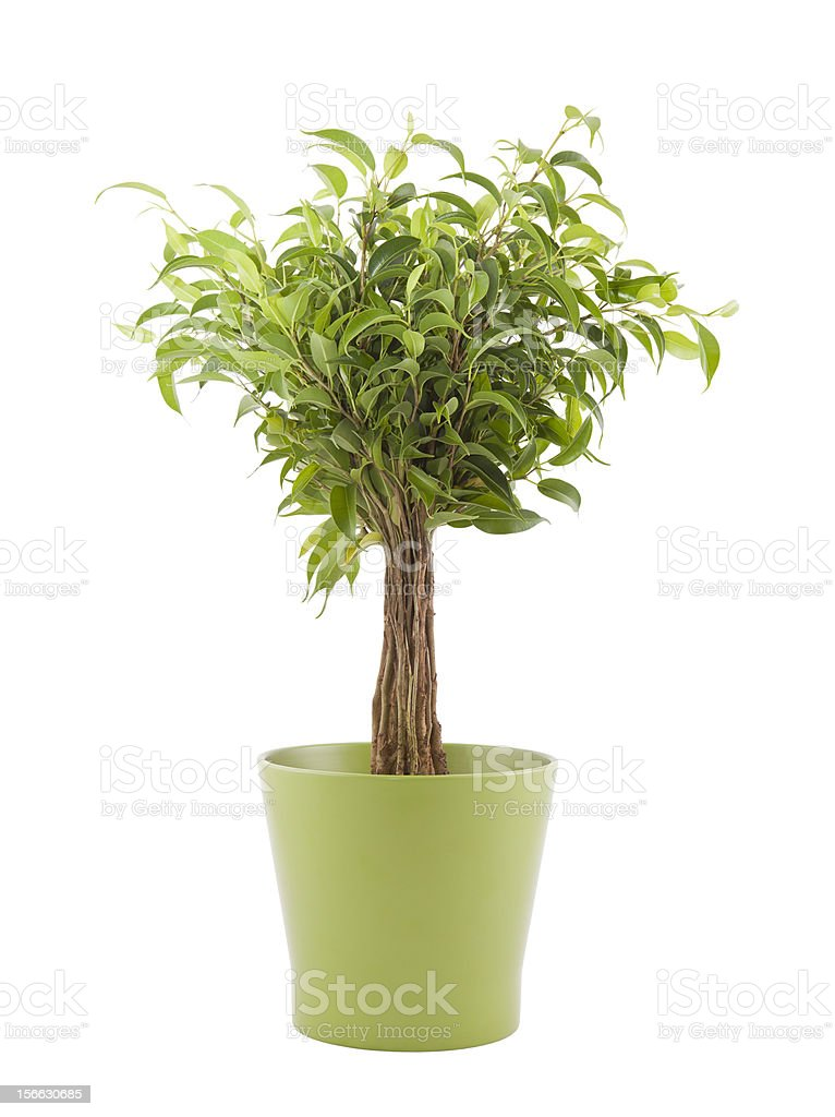 Ficus Benjamin in green pot with clipping path royalty-free stock photo