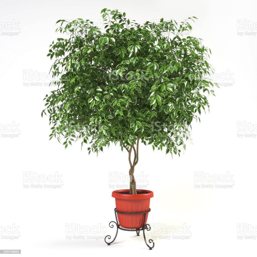 Ficus Benjamina - 3d render stock photo