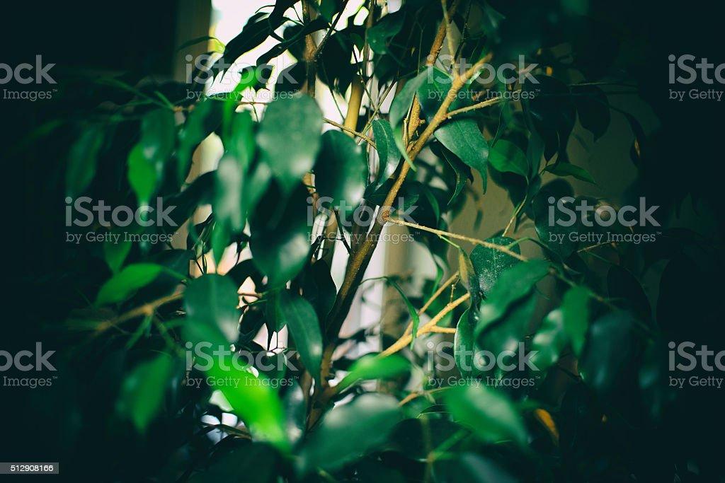 Ficus Benjamina in the dark stock photo