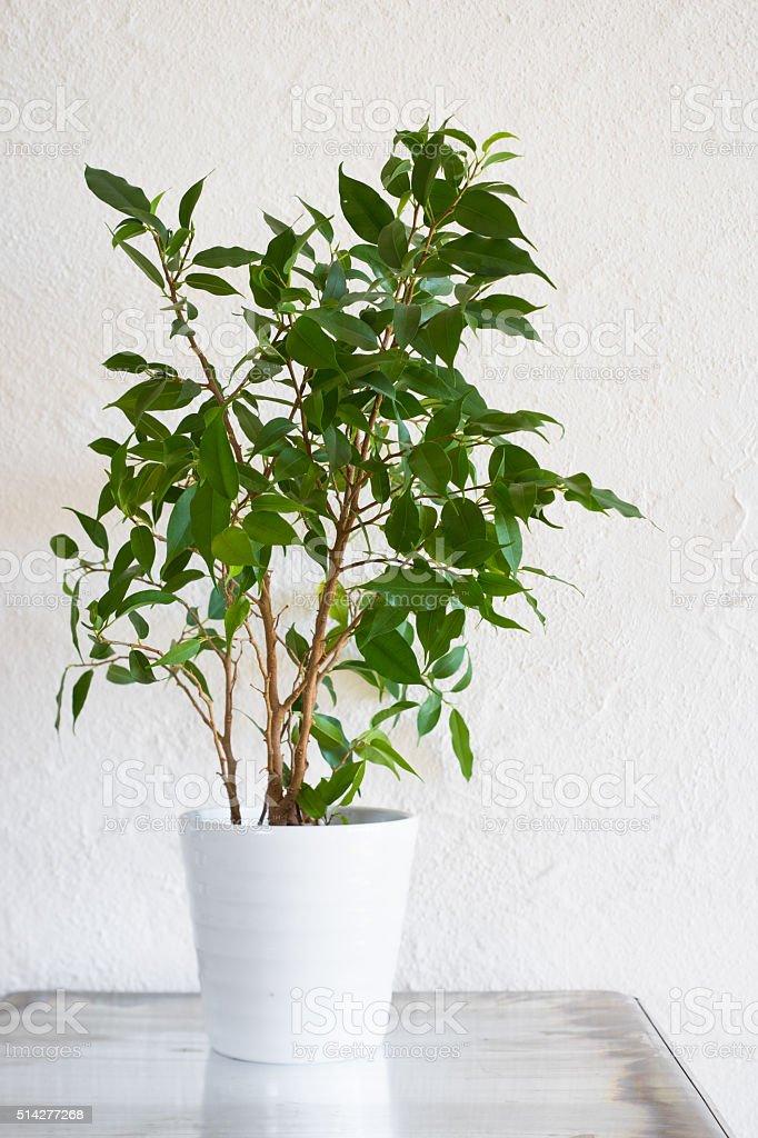 Ficus benjamina in white pot on metallic surface stock photo