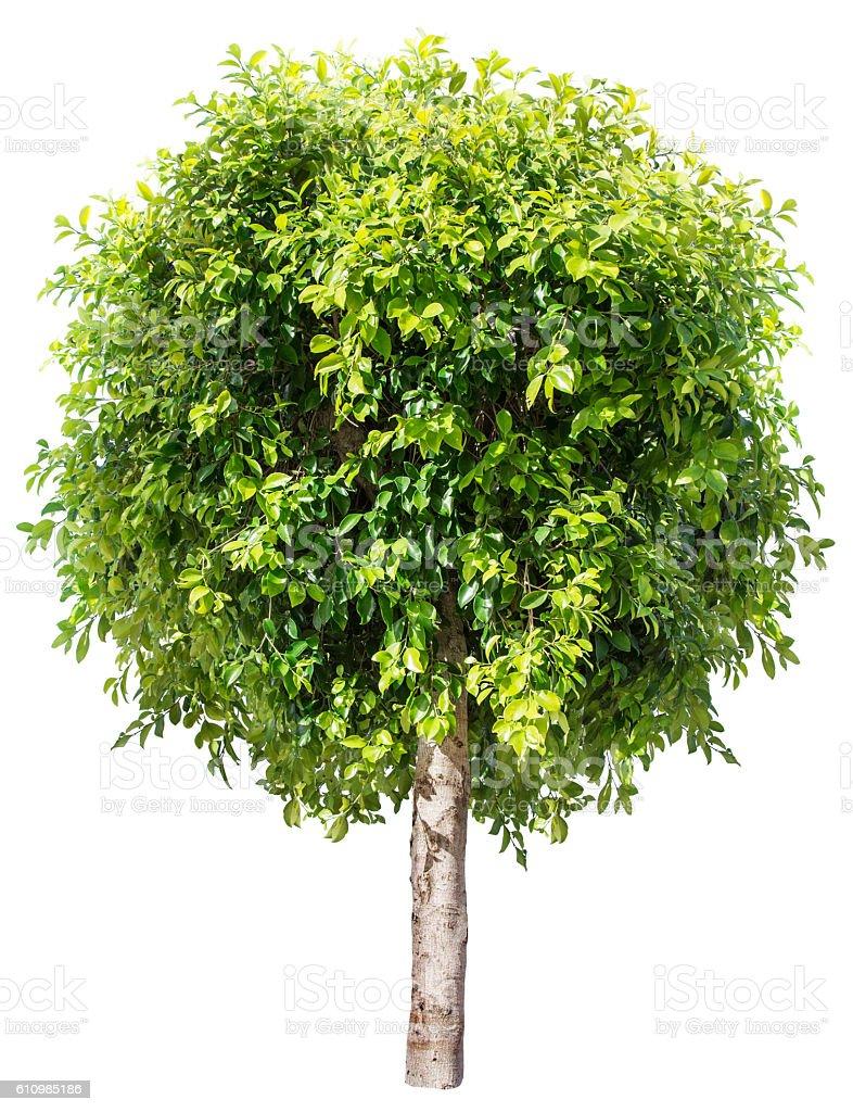 Ficus benjamina. stock photo
