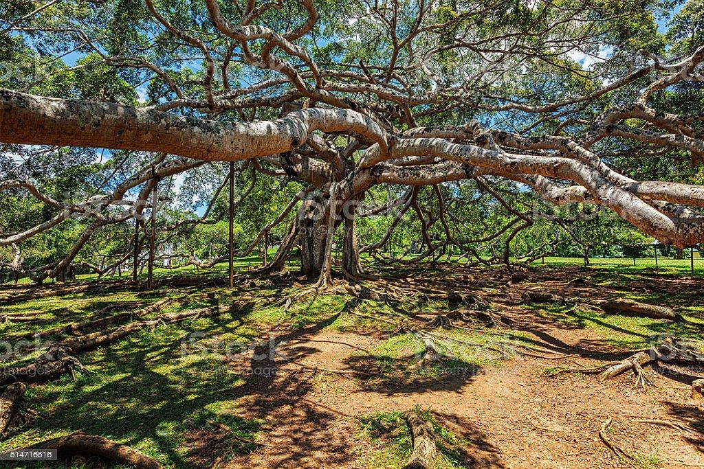 Ficus Benjamina tree stock photo