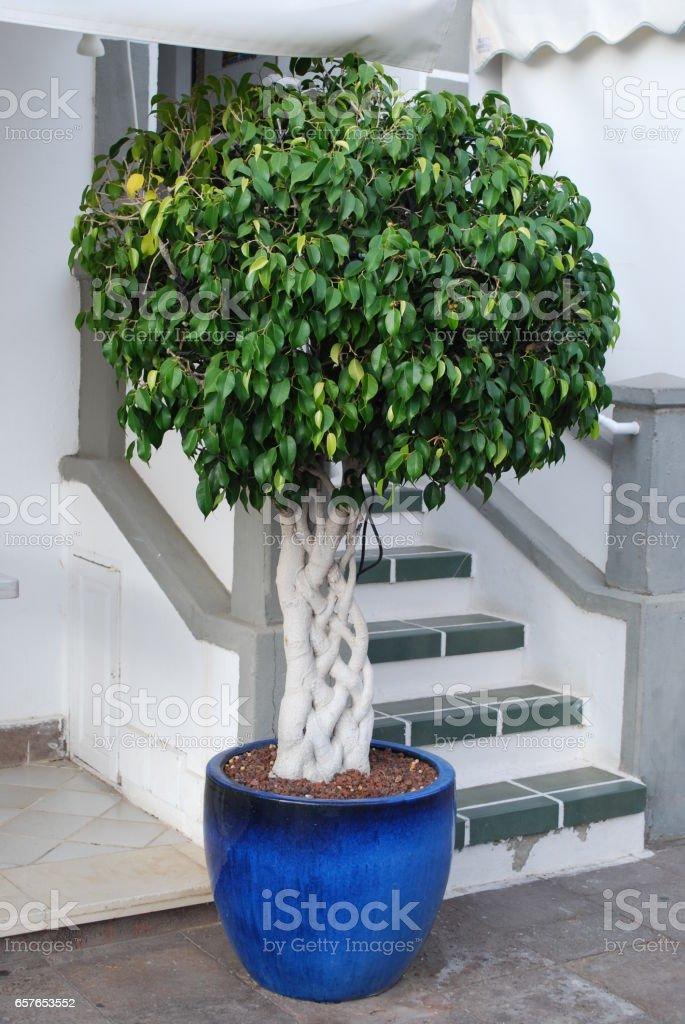 Ficus benjamina with braided stem. stock photo