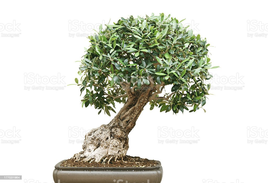 ficus bonsai tree stock photo