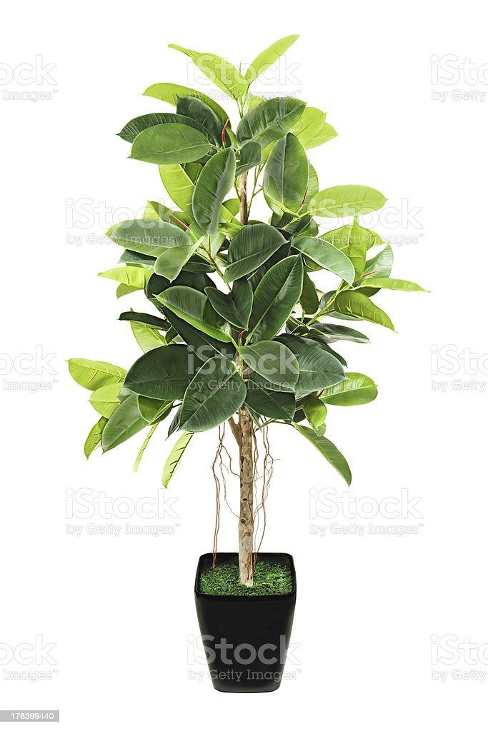 Ficus elastica (Indian Rubber Bush) in black flowerpot on white stock photo