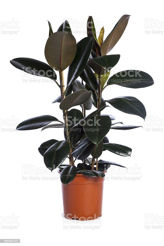 Ficus elastica stock photo
