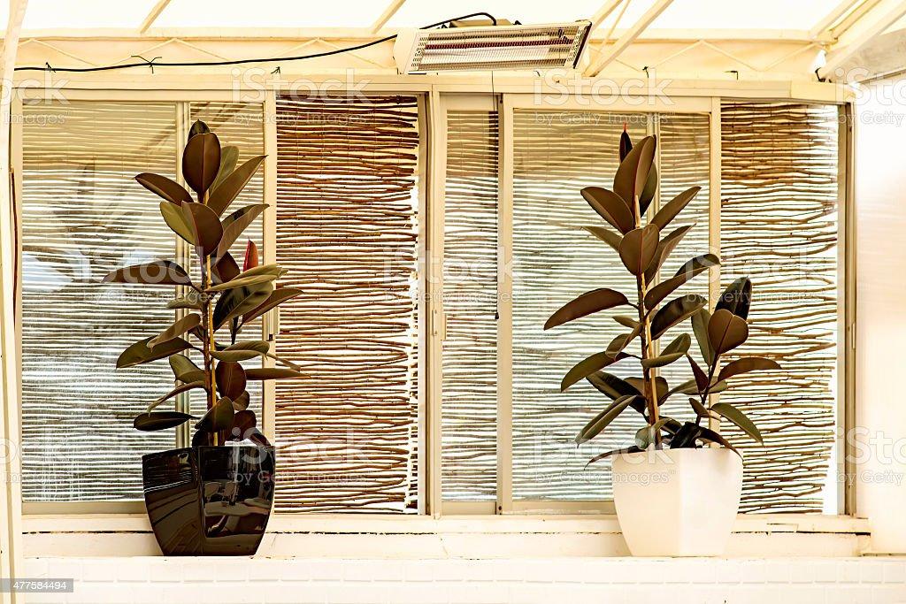 Ficus Elastica Plant stock photo