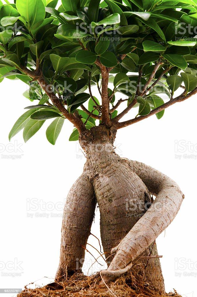 Ficus Ginseng stock photo