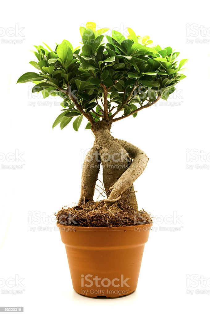 Ficus Ginseng royalty-free stock photo