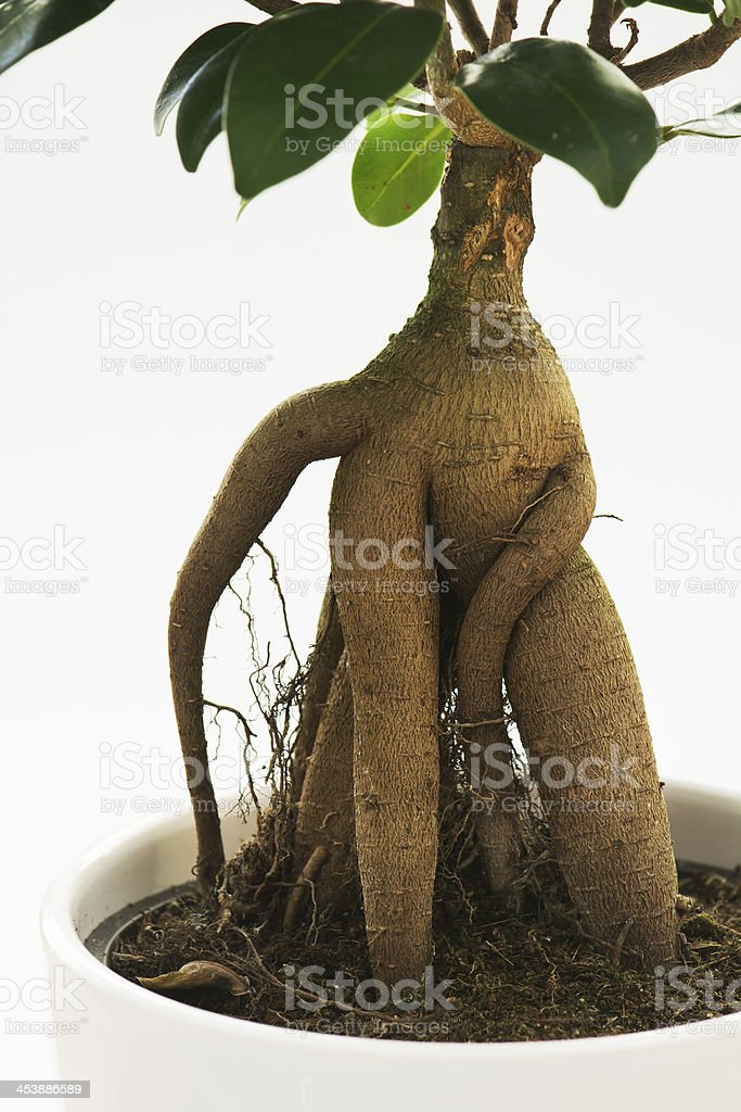 Ficus ginseng tree with root royalty-free stock photo