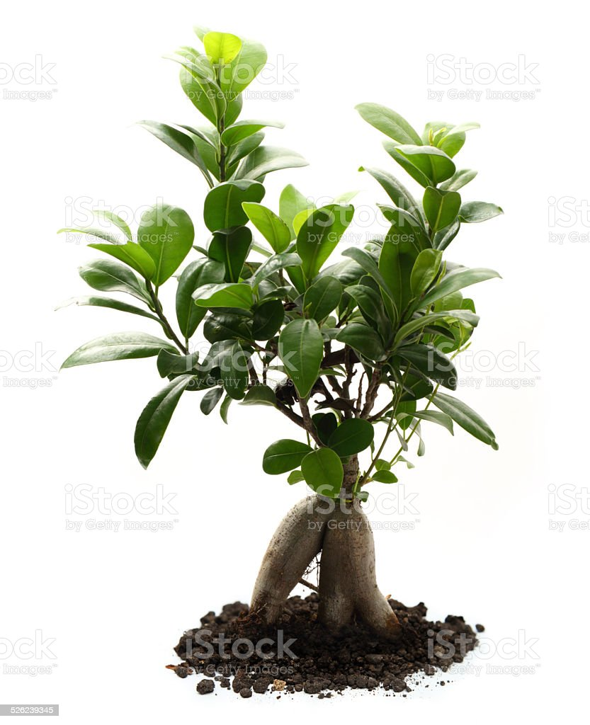 Ficus ginseng with soil stock photo