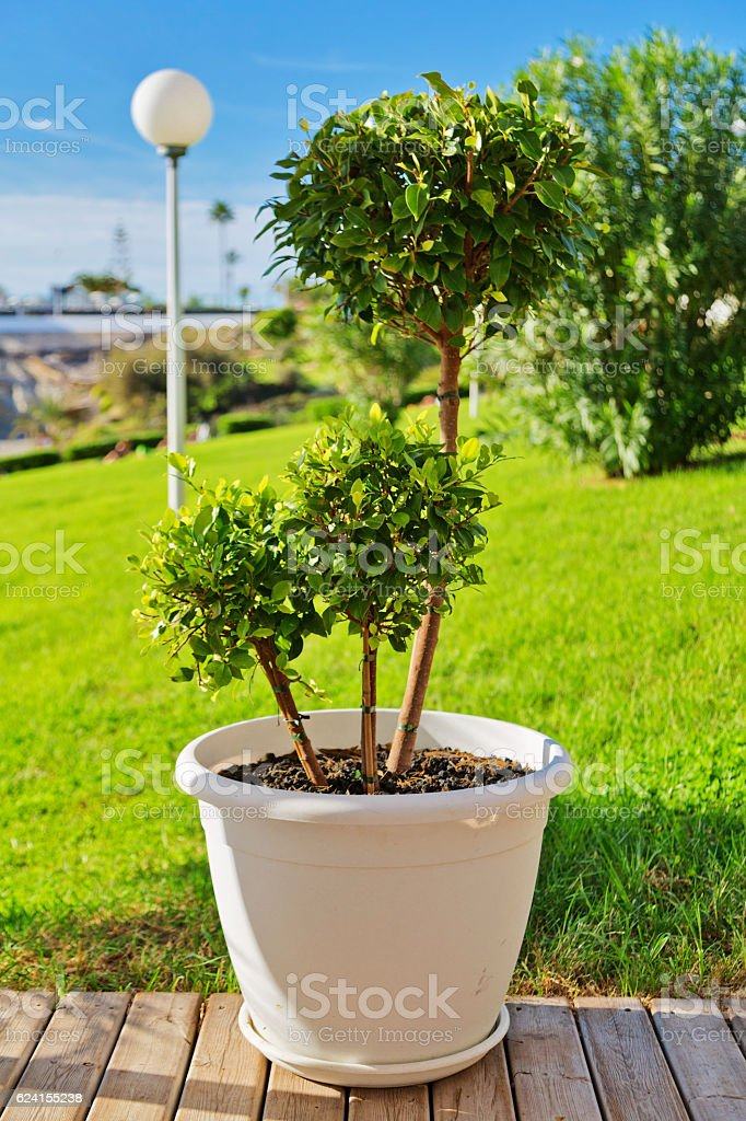 Ficus in a white pot stock photo