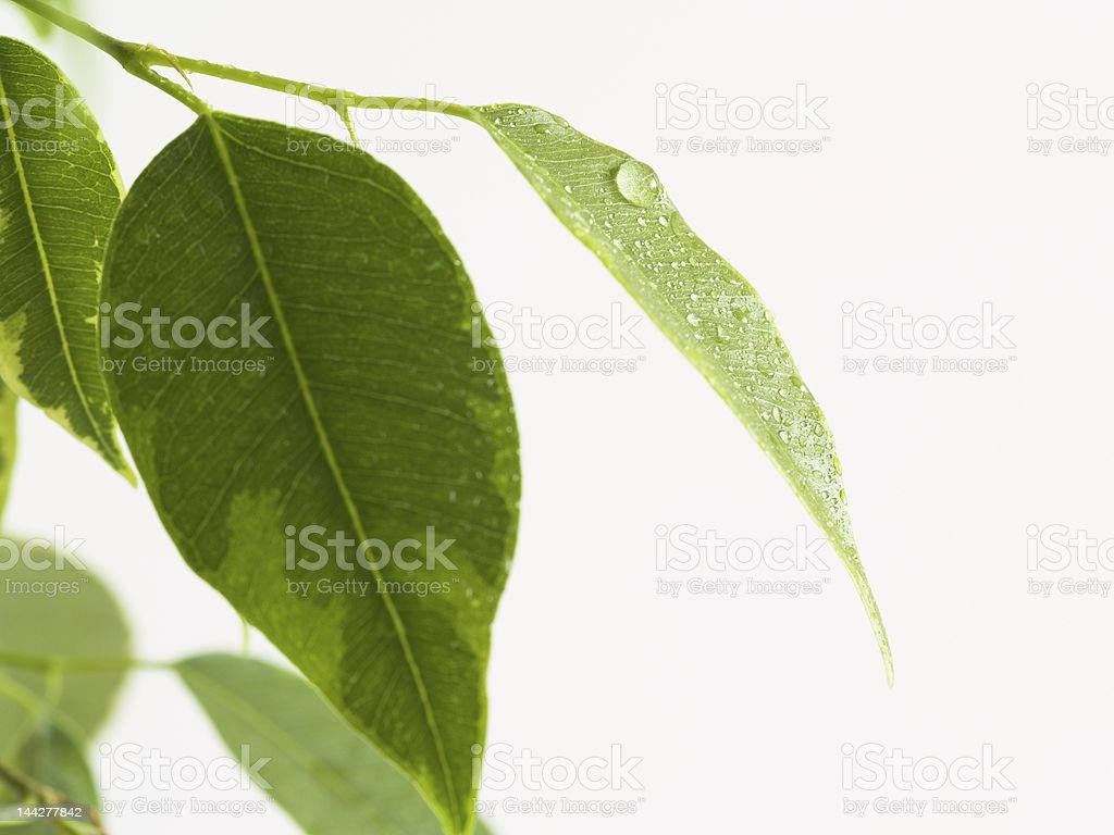 Ficus leaf royalty-free stock photo