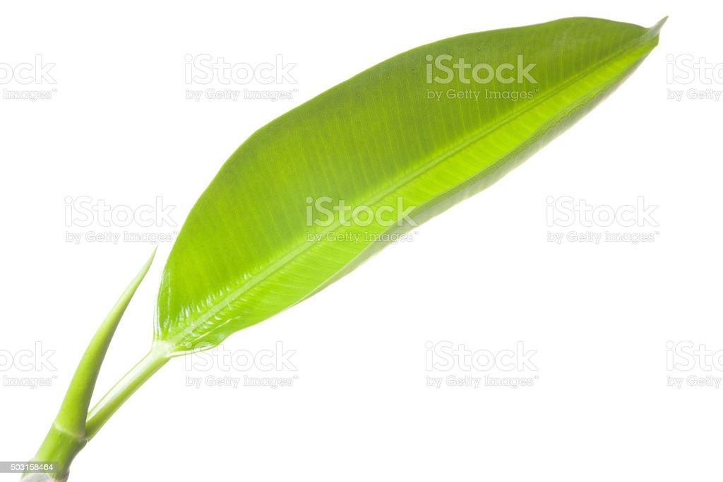 Ficus leaf stock photo