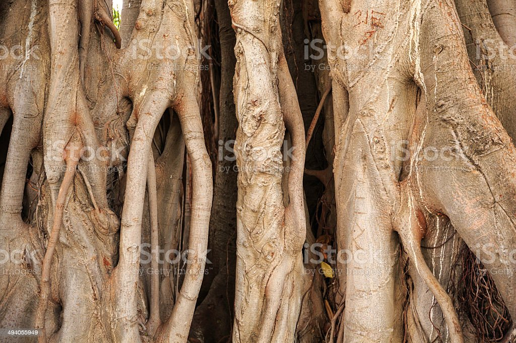 ficus magnolioide stock photo