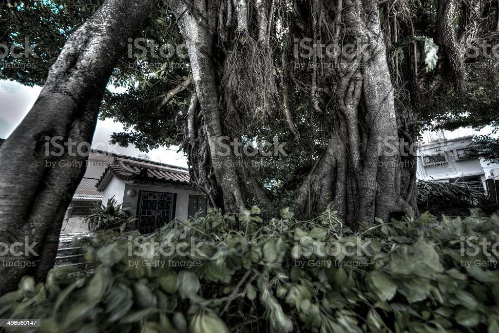 Ficus microcarpa royalty-free stock photo