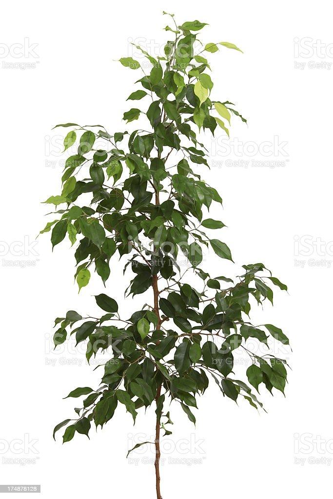 Ficus stock photo
