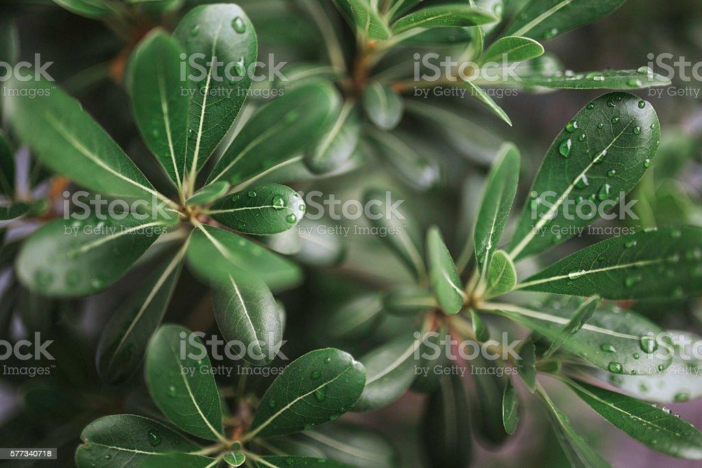 Ficus plant Benjamin stock photo