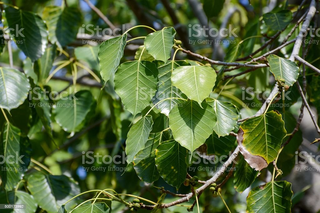 Ficus religiosa leaves stock photo