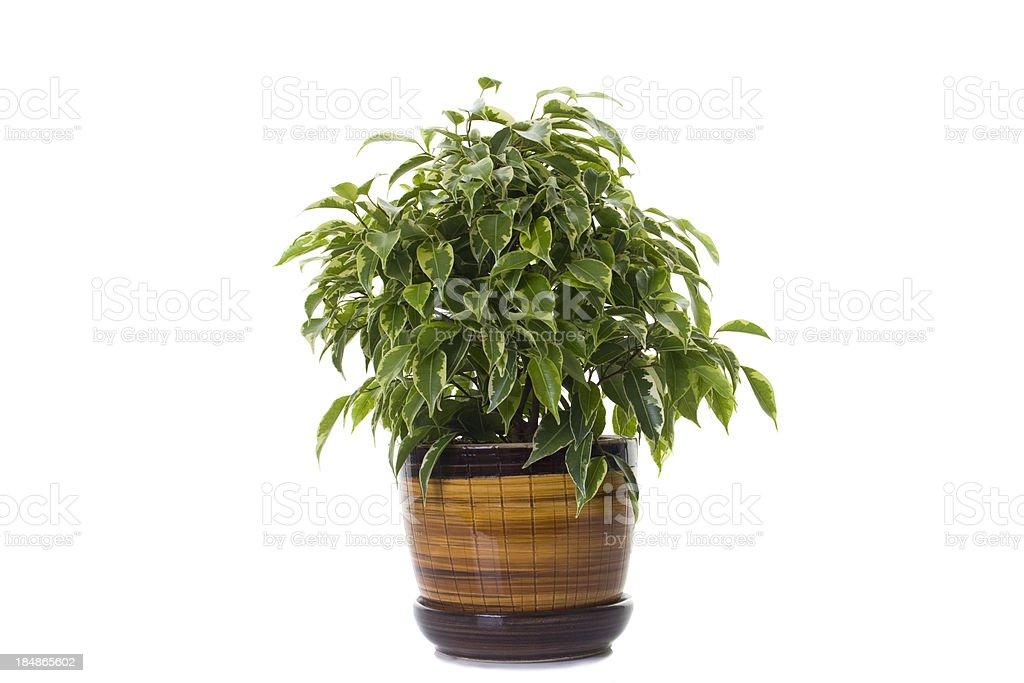 ficus tree in flowerpot stock photo