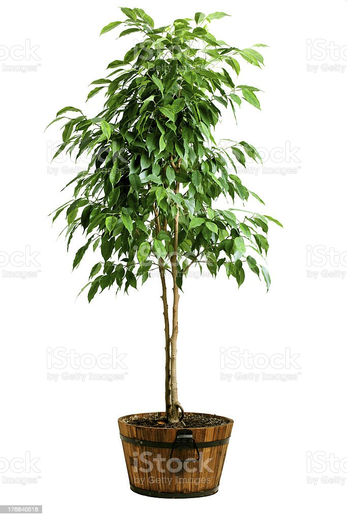 Ficus tree in pot stock photo