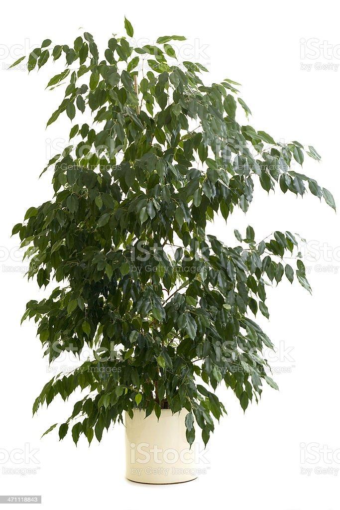 Ficus tree in tan flowerpot on white background stock photo