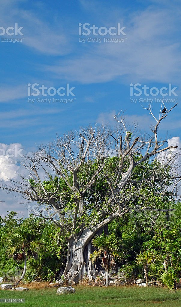 Ficus Tree in the Tropics royalty-free stock photo