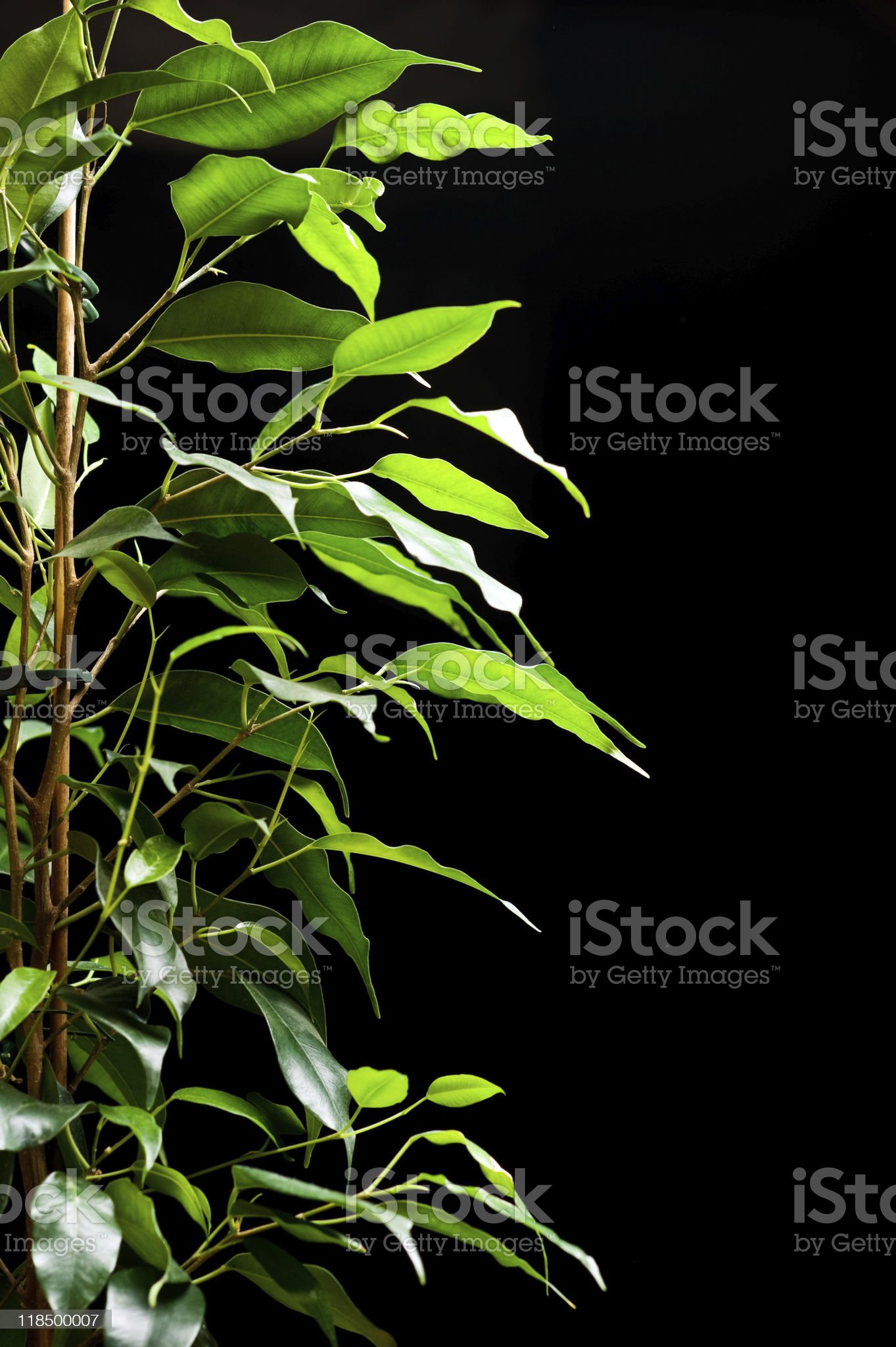 Ficus tree royalty-free stock photo