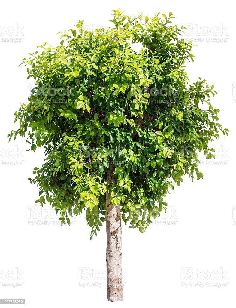 Ficus tree. stock photo