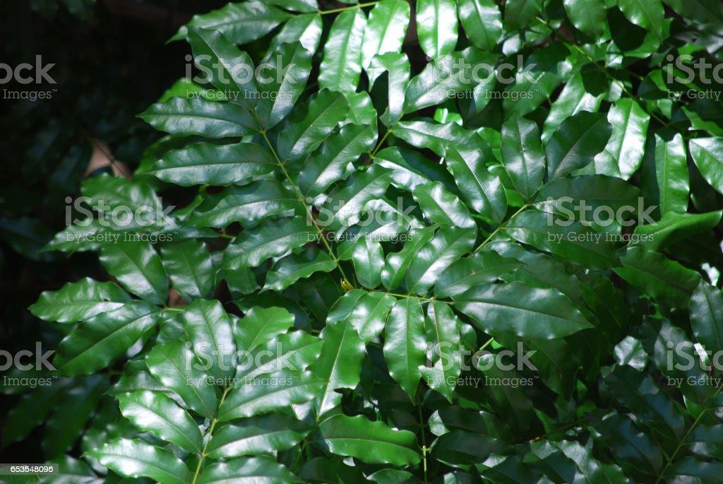 Ficus tree (Ficus benjamina) stock photo