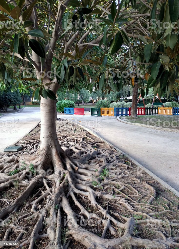 Ficus Tree roots stock photo