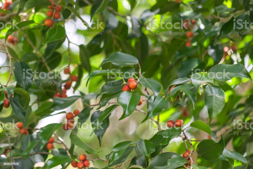 Ficus tree with fruits (Ficus benjamina) stock photo