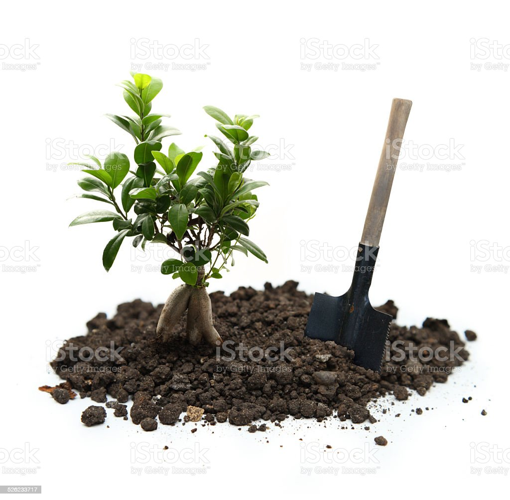 Ficus with soil and shovel stock photo