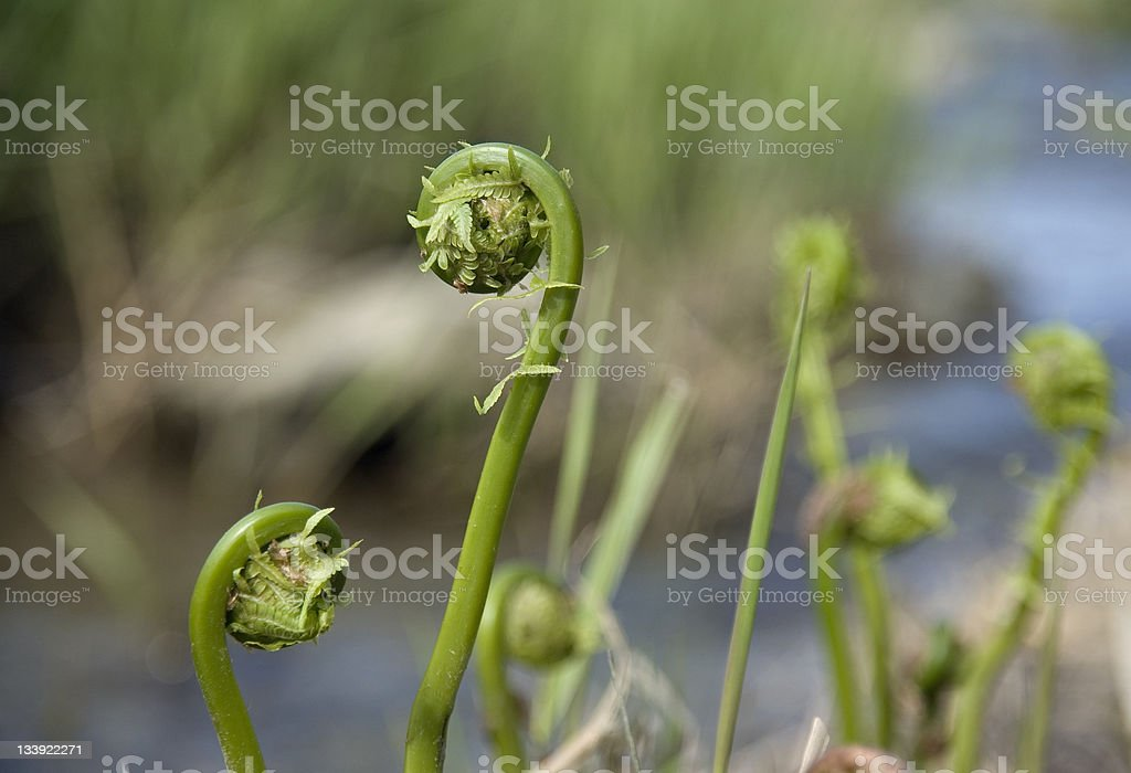 Fiddleheads stock photo