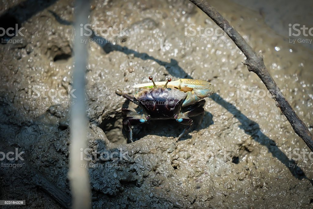 Fiddler crab, Ghost crab Living in mangrove nature stock photo