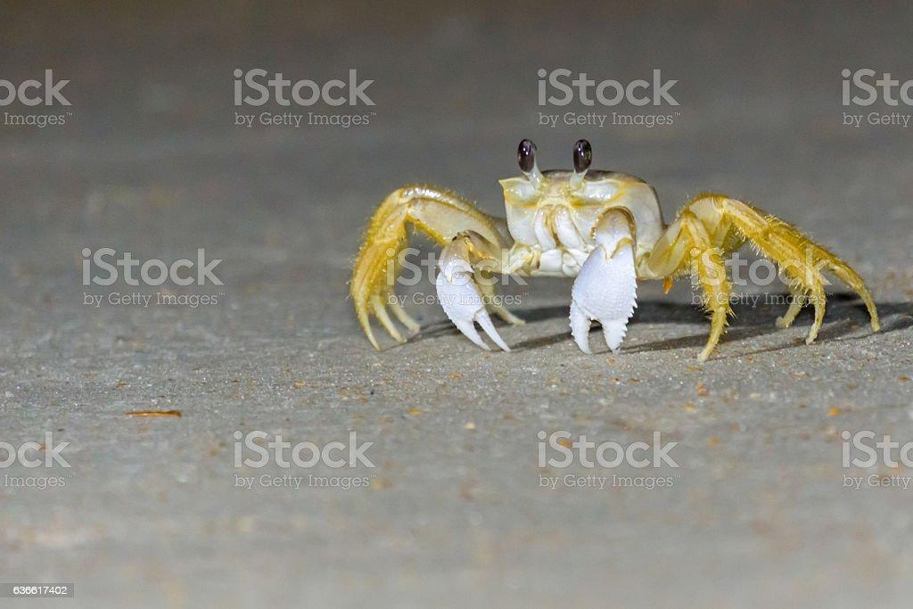 Fiddler crab on a dark beach stock photo