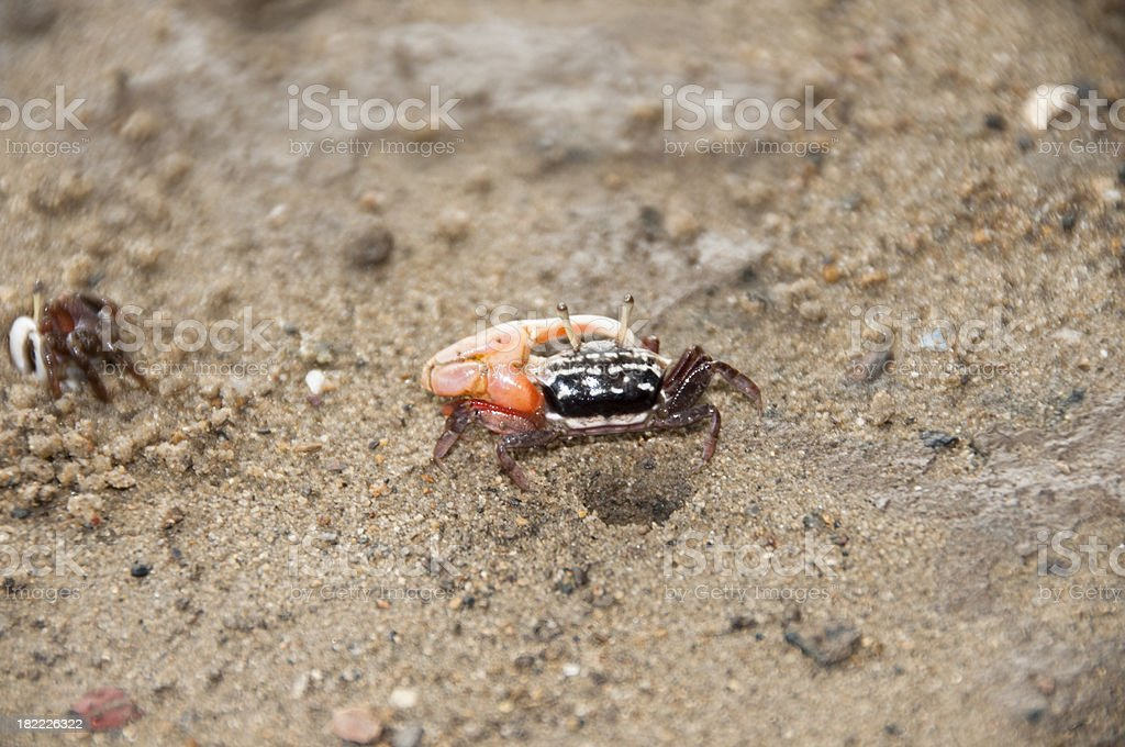 Fiddler Crab stock photo