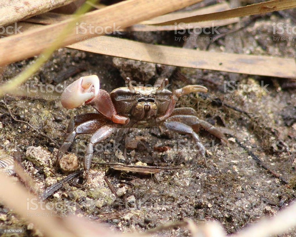 Crabe violoniste photo libre de droits